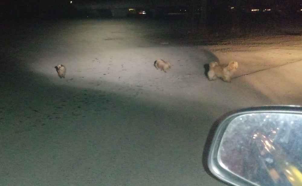 Cuccioli vagano al buio