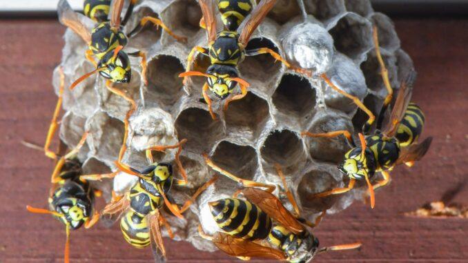 Castell'Arquato, 60enne in gravi condizioni per le punture delle vespe